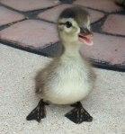 Happy-Duck